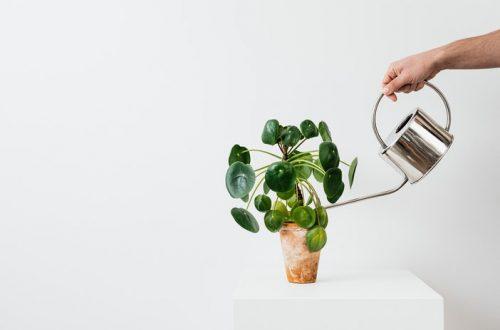 Pannekoekplant water geven